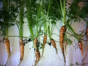 carrot paper